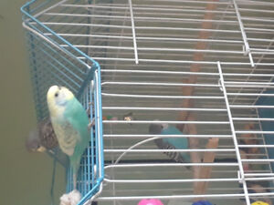 Female budgie!!
