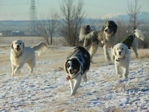 Dog walking services, South Calgary, Chestemere, and Langdon