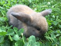 Lovely baby mini lop ear X bunnies