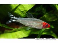 Sold ppu 7 Rummynose tetra