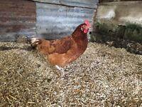 Lohmanns, warrens, hens, chickens, hen, chicken,