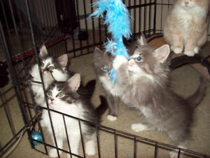 Maine Coon Kittens One Big Boy and One Big Girl  Going Fast !!!