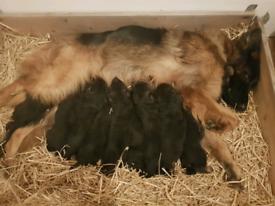 Top German shepherd puppies for sale