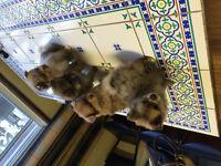 4 magnifique chiot adorable de race pomeranien!