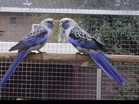 Pair of blue Pennant Rosellas are now sold.