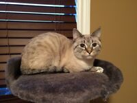 One year old Lynx point Siamese  female cat