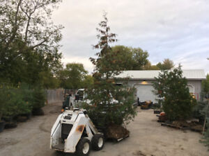 White cedar trees 12' tall for sale