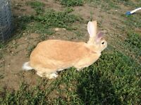 Rabbit: New Zealand / Rex cross doe, large litters