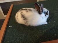 Rabbit English spot rabbits reserve now