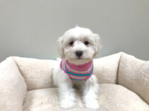 Yorkie x Maltese Puppies - Morkies