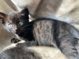 Melanistic Bengal Kittens ready to collect