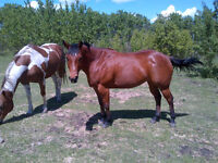 9 year old apha bay breeding stock mare