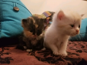 Persian Mix Kittens For Sale