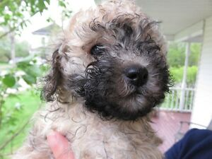 one male poodle left