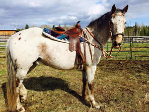 9 year old Thoroughbred Appy
