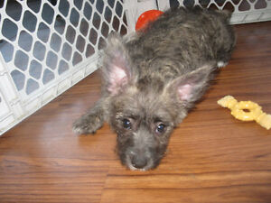 Cairn Terrier Mix Breed Baby (1 baby boy available again)