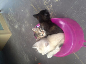 3 kittens free to a good home