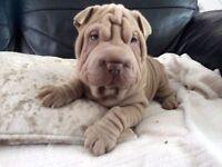 Stunning Shar Pei Puppy, Last in Litter.