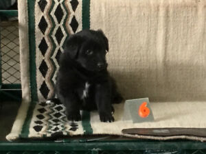 Border Collie - Pyrenees cross puppies   REDUCED