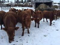 10 Bred Heifers