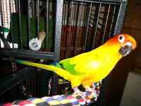2 years old female sun conure with cage and papers