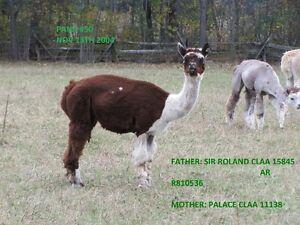 Alpacas for sale Herd liquidation Peterborough Peterborough Area image 9