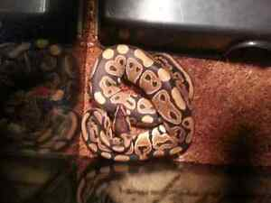 SNAKE  Ball Python BEST OFFER everything included  London Ontario image 8