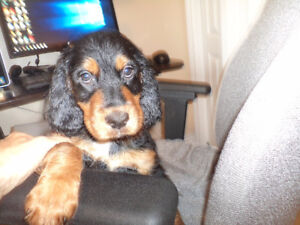 Last 3 Gordon Setter Pups at Reduced Price