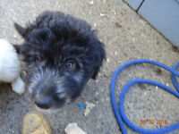 AUSSIEDOODLE PUPS - 1/2 PRICE, MOVING, MUST SELL