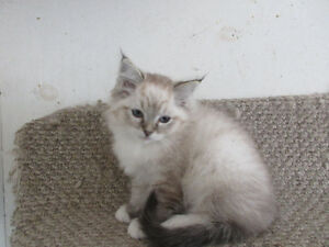 TICA Registered Ragdoll Kittens for sale