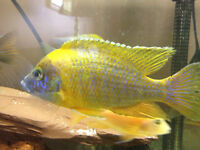 Selling Male Peacock cichlids