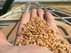 AAC Iceberg Hard White Spring Wheat - Certified Seed