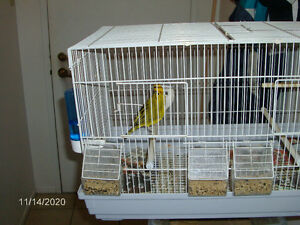 A pair of safron finches from south america for sale very good h