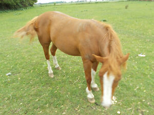 FOUND, LOOKING FOR THIS PONY Chatham-Kent Ontario image 2