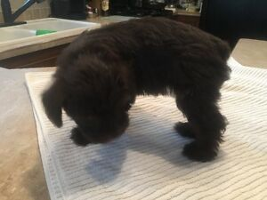 Rare chocolate mini schnauzer 2 mos old championship Stock