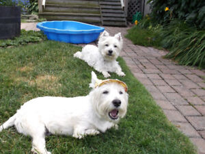 WESTIE RESCUE-we can find a home for your Westie/westie mix.