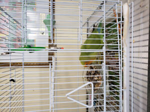 Love bird female  with cage