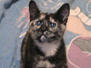 Female Tortoise cat to give away to good home
