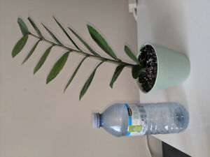 Air Purifier ZZ plant in ceramic pot