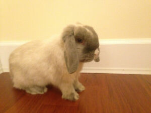 Blue Eyed Holland Lop