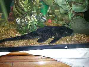 adult plecostomus couple years old.