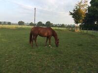 5 year old thoroughbred mare (working project)