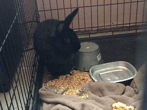 FREE BLACK BUNNY cage not included