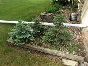 Spruce trees ---2- 3 ft tall