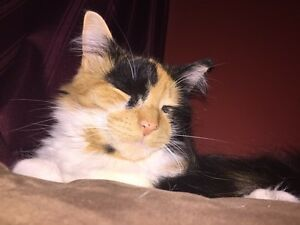 1 year old female calico cat.