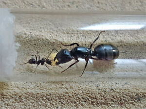Ant Queen Buy/Sell -- British Columbia Division