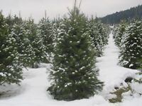 Christmas Trees and Greenery