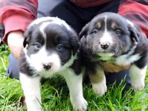 CHIOTS BORDER COLLIES