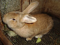 Brown rabbit, male,  Giant mixed with French Lop