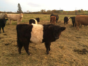 Pure bred Galloway cattlle